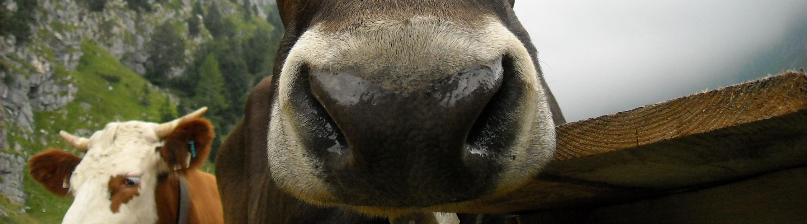 Naso mucca
